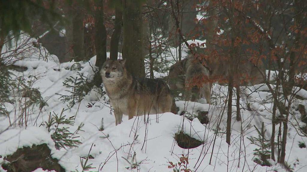 Zimní příroda: Ptáci, jehličnany a vlci - ČT edu - Česká televize